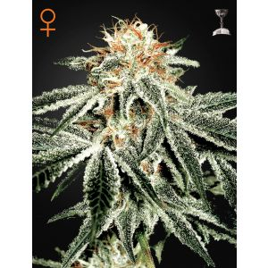 White Widow® (Green House Seeds®)