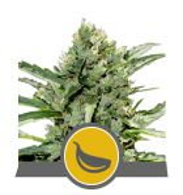 Non Feminized Garlic Mist (Royal Queen Seeds)