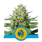 Tatanka Pure CBD (Royal Queen Seeds)