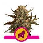 Mother Gorilla (Royal Queen Seeds)