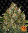 Non Feminized G13 Haze™ (Barney's Farm) - 10 seeds