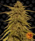 Non Feminized Pineapple Haze™ (Barney's Farm) - 10 seeds