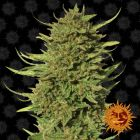 Non Feminized Critical Kush™ (Barney's Farm) - 10 seeds