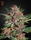Bubba Kush® (Green House Seeds®)