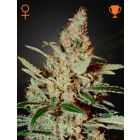 Chemdog® (Green House Seeds®)