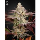 Chemical Bride (Green House Seeds®)