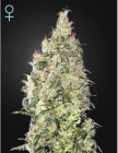 Great White Shark CBD (Green House Seeds)