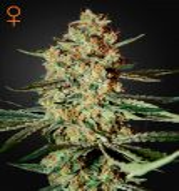 Himalaya Gold® (Green House Seeds®)