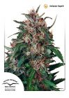 Non Feminized Hollands Hope®  (Dutch Passion®)-10 seeds