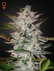Holy Punch® (Green House Seeds®)
