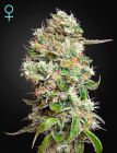 King's Kush Auto CBD (Green House Seeds)