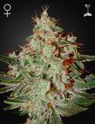 Lemon Skunk® (Green House Seeds®)