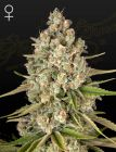 Lost Pearl (Green House Seeds®)