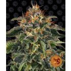 Runtz Muffin Feminized Seeds Barney's Farm Kosmic Kitchen