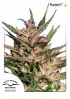 Non Feminized Passion #1 ® (Dutch Passion®)-10 seeds