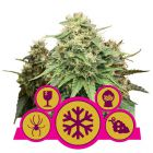 Feminized Mix (Royal Queen Seeds)