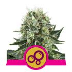 Bubble Kush (Royal Queen Seeds)