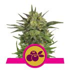 Haze Berry (Royal Queen Seed)