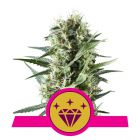 Special Kush #1 (Royal Queen Seeds)