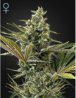 Super Lemon Haze Auto CBD (Green House Seeds)