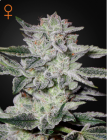 Sweet Valley Kush (Green House Seeds®)