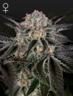 Wonder Pie (Green House Seeds®)